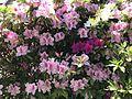 Azalea flowers 20170424.jpg