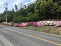 Azaleas near Kasuya Research Forest of Kyushu University.jpg