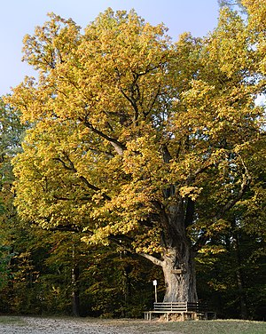 Schurwald - Tree on the southern edge of the forest in Plochingen
