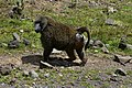 Baboon, Bale Mountains National Park (6) (29174464222).jpg