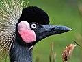 Balearica pavonina (Schwarzer Kronenkranich - Black Crowned Crane) - Weltvogelpark Walsrode 2012-03-120426 0208.jpg