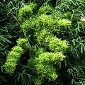 Bamboo Phytoplasma.jpg