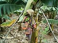 Banana plantation (Los Sauces) 06 ies.jpg