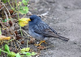 Band-tailed Seedeater, Lomas de Lachay, Peru (5964875508).jpg