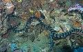Banded Sea Snake-jonhanson.jpg