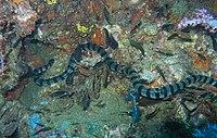 Banded Sea Snake-jonhanson
