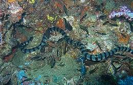 Sea krait, Laticauda sp.