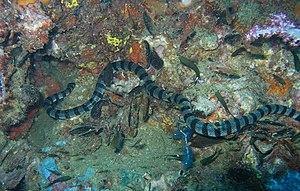 Hydrophiinae - Blue-lipped sea krait, Laticauda laticaudata
