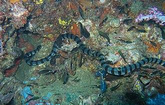 Sea snake - Blue-lipped sea krait, Laticauda laticaudata