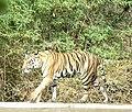 Bandhavgarh-kanha 5.jpg
