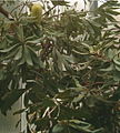 Banksia integrifolia LeavesInflorescence BotGard1205B.jpg