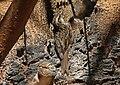 Bar-tailed Tree-creeper (Certhia himalayana) (16219379580).jpg
