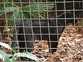 Barcelona-Zoo-Pantera negra, forma melánica del leopardo (Panthera pardus).jpg