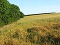 Barley, Maiden Newton - geograph.org.uk - 908397.jpg