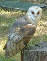 Barn-owl (Racheeo)