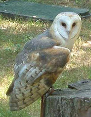 A Barn Owl, Tyto alba.