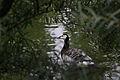 Barnacle Goose J3.jpg