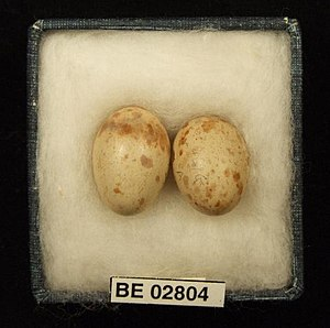 Buff-sided robin - Buff-sided robin eggs collected by H.G. Barnard on the McArthur River Station, Northern Territory, 1913. Museum of Victoria H.L. White Collection.