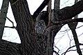 Barred Owl (84251465).jpg