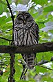 Barred Owl (Strix varia) perched.JPG