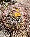 Barrel Cactus - Anza Borrego.jpg
