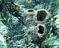 Barrel Sponges three of them (7342634000).jpg