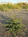 Bassia scoparia subsp. densiflora sl37.jpg