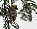 Baya Weaver (Ploceus philippinus)- Male W IMG 0674.jpg