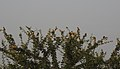 Baya Weaver Ploceus philippinus by Dr. Raju Kasambe DSCN0233 (8).jpg