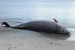 Beached Cuvier's Beaked Whale (28740971527).jpg