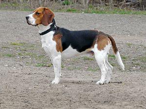 Beagle (Hunderasse)