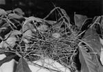 Bearded Bellbird egg.jpg
