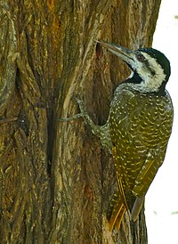 Bearded Woodpecker (Dendropicos namaquus) female (16462030862).jpg