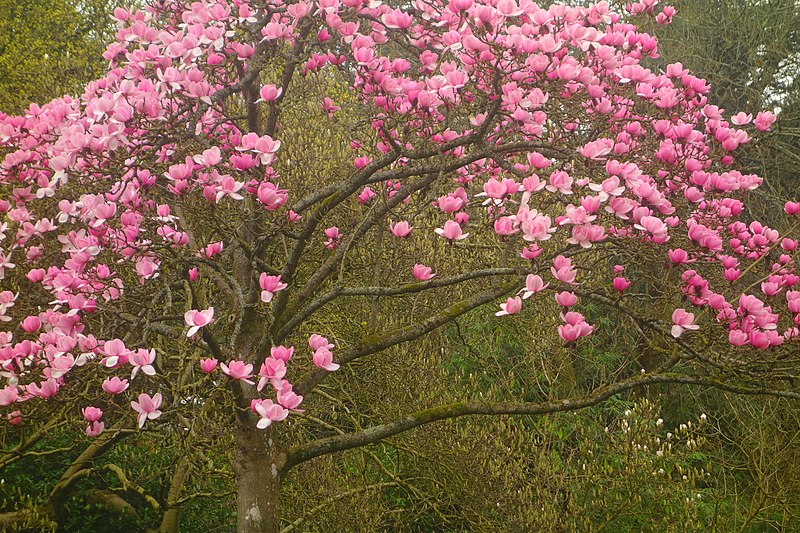 Pink magnolia in spring at Beechwood Park, Newport, Wales.