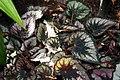 Begonia Phil Seiden 2zz.jpg