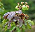Bellyache Bush (Jatropha gossipifolia) in Hyderabad, AP W IMG 9473.jpg