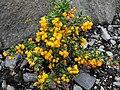 Berberis stenophylla 'Carollina compacta' 2.JPG