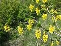 Berberis vulgaris sl4.jpg