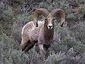 Big Ram (5753394979).jpg