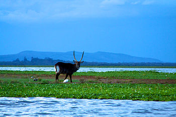 Big stag water buck on Lake Naivasha