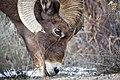 Bighorn ram, Lamar Valley (2d447d90-1203-4ef1-9d2d-d08f400896a6).jpg