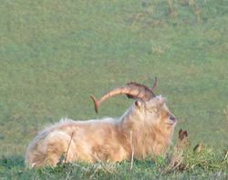 A big dirty goat with long curly horns rests in the long grass on top of a hill.