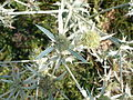 Bild 060 Eryngium campestre.jpg