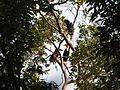 Bird Wreathed Hornbill Rhyticeros undulatus IMG 9195 (12).jpg
