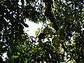 Bird Wreathed hornbill Rhyticeros undulatus IMG 7837 10.jpg