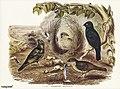 Bird illustration by Elizabeth Gould for Birds of Australia, digitally enhanced from rawpixel's own facsimile book247.jpg