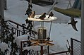Birds at a birdfeeder in Botevgrad, Bulgaria 05.jpg