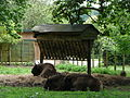 Bison bonasus in Howletts Wild Animal Park 2.jpg