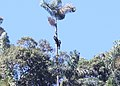 Black-and-Chestnut Eagle (Spizaetus isidori) (9496828405).jpg