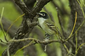 Black-capped Vireo - Texas - Usa H8O1970 (22978591836).jpg